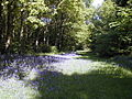 Bluebell woods at Woodside Cottages by the River Eden - geograph.org.uk - 100289.jpg
