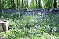 Bluebells - panoramio (5).jpg