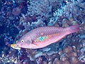 Bluepatch parrotfish initial phase (Scarus forsteni) (42854211135).jpg