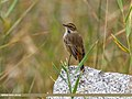 Bluethroat (Luscinia svecica) (29849634642).jpg