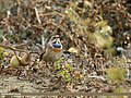 Bluethroat (Luscinia svecica) (31965345605).jpg
