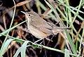 Blyth's Reed Warbler Acrocephalus dumetorum by Dr. Raju Kasambe DSC 6510 (1).jpg