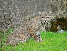 Lynx_rufus