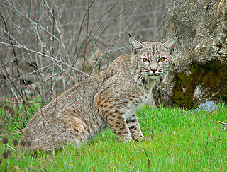 Bobcat Medium-sized North American wild cat