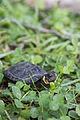 Bog turtle (18555356649).jpg