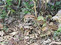 Boiga - Cat Snake IMG 1003.jpg