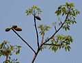 Bombax ceiba (Semal) with fruits in new leaves at Jayanti, Duars, West Bengal W Picture 063.jpg
