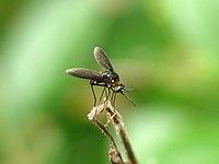 Bombyliidae 4 at Kadavoor.jpg
