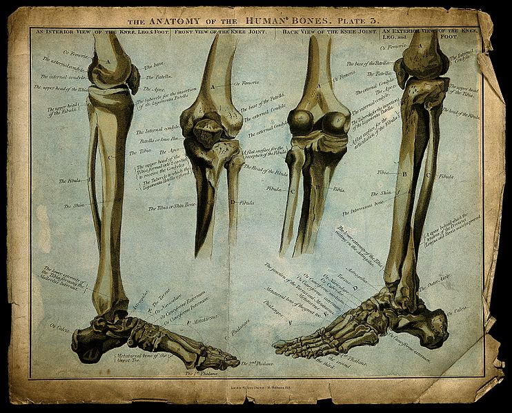 File:Bones of the lower limb, knee and foot; four figures. Colour Wellcome V0007926.jpg