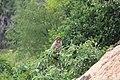 Bonnet macaque 01.jpg