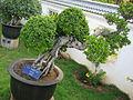 Bonsai mysore.jpg