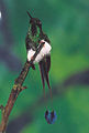 Booted Rackettail Bellavista.jpg