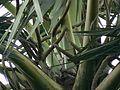 Borassus flabellifer (1128939018).jpg