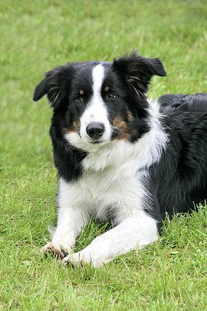 English: Border collie dog Deutsch: Border Col...