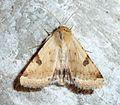 Bordered Straw.Heliothis peltigera - Flickr - gailhampshire.jpg