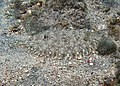 Bothus pantherinus (juvénile).jpg