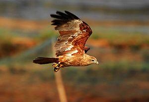 Brahminy kite - A subadult
