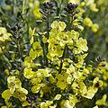 Brassica oleracea-IMG 9269.jpg