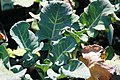 Brassica oleracea Packman 1zz.jpg