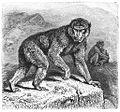 Brehms Het Leven der Dieren Zoogdieren Orde 1 Magot (Inuus ecaudatus).jpg