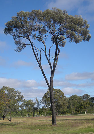 Taunton National Park - Brigalow Tree - A. harpophylla