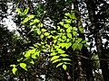 Bright leaves japanese nature.jpg