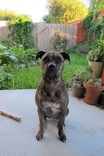 3.5 year old Brindle Pit Bull Terrier