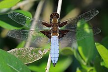 Broad-bodied chaser dragonfly (Libellula depressa) male.jpg