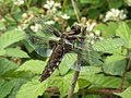 Broad bodied chaser dragon fly (2) - geograph.org.uk - 1985369.jpg