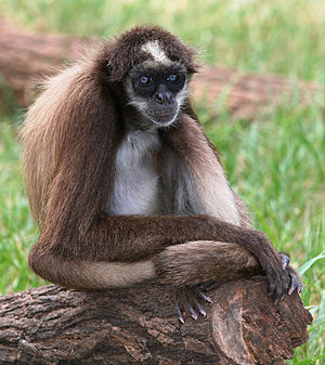 Spider monkey - As is the case with all species of spider monkeys, the brown spider monkey is threatened by hunting and habitat loss.