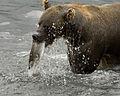 Бурый медведь охотно копается в земле, добывая сочные корневища и...