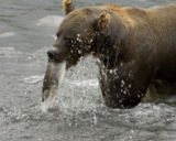 external image 160px-Brown_Bear_Feeding_on_Salmon_1.jpg