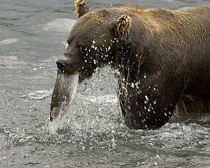 orso - Wikizionario