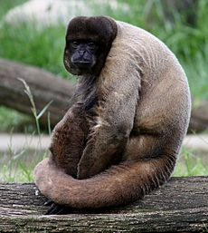 Brown Woolly Monkey 037.jpg