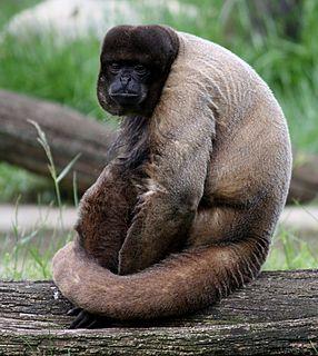 <i>Woolly monkey hepatitis B virus</i> species of virus