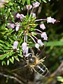 Bruc d'hivern (Erica multiflora) 01 - i abella (apis mellifera) (2982792746).jpg