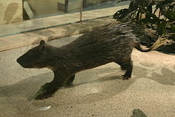 Brush-tailed Porcupine.jpg