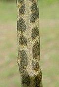 Bryophyllum delagoense leaf (12079384864).jpg