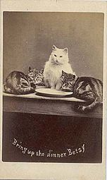 An Early Cat Macro By British Portrait Photographer Harry Pointer Circa 1870s