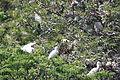 Bubulcus ibis and Egretta dimorpha (22204549061).jpg