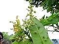 Buchanania axillaris (Cuddapah Almond) 02.jpg