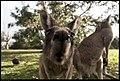 Buiobuione - kangaroo.jpg