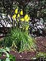 Bulbinella angustifolia HRM2.jpg