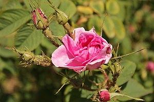 Rose Valley, Bulgaria - Image: Bulgarian Rose