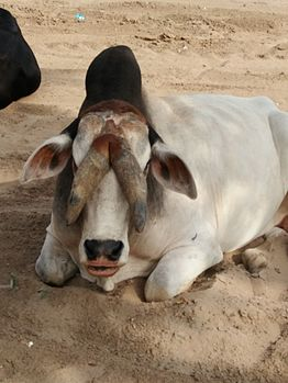 Bull having two horns in the middle of his head.jpg