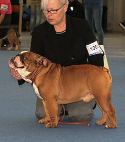 Image illustrative de l'article Bulldog anglais