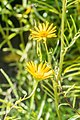 Buphthalmum salicifolium in Jardin des 5 sens (2).jpg