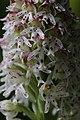 Burnt-tip Orchid - Neotinea ustulata (16699913514).jpg