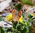 Butterfly Mammoth Lakes (20140420-0063).JPG