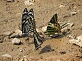 Butterfly mud-puddling at Kottiyoor Wildlife Sanctuary (13).jpg